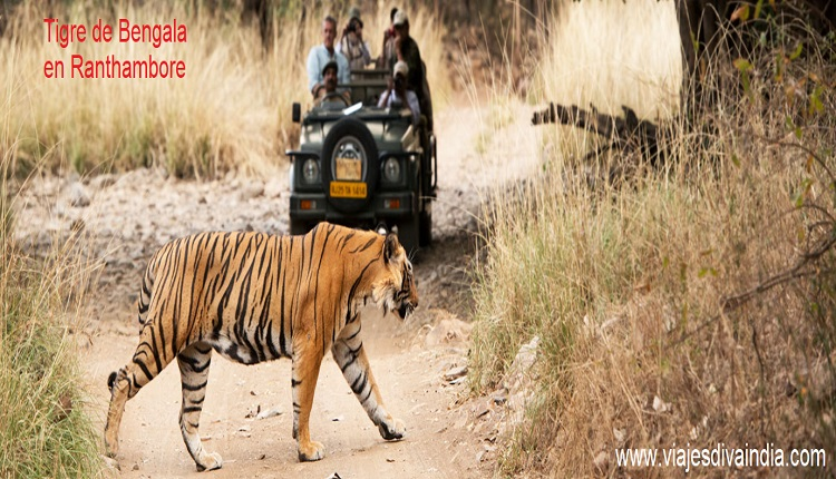 Tigre de Bengala en Ranthambhore
