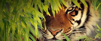 Tigre de Bengala Ranthambore India