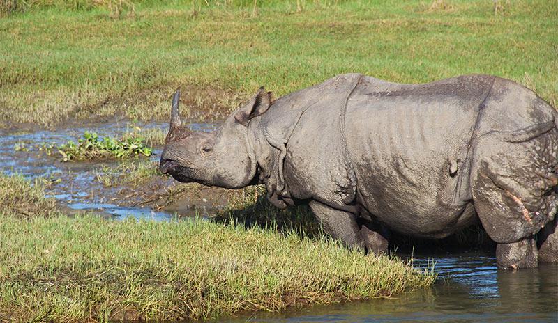 One horn rhino Chitwan National Park Nepal